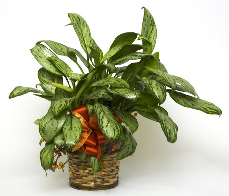Dieffenbachia from Kelley's Florist in Lake Placid, FL